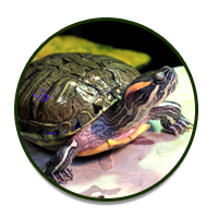 Reptile Room: Turtles