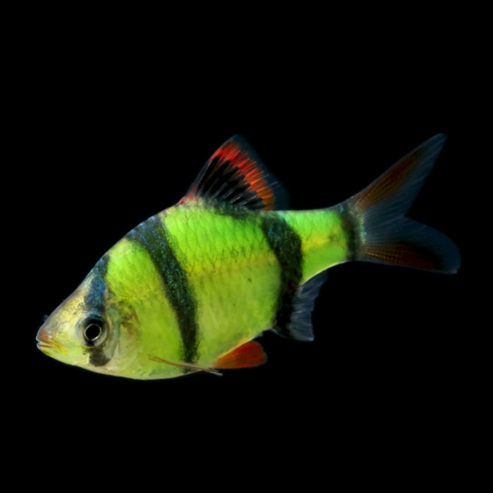 Electric Green Glofish Barb Puntius Tetrazona