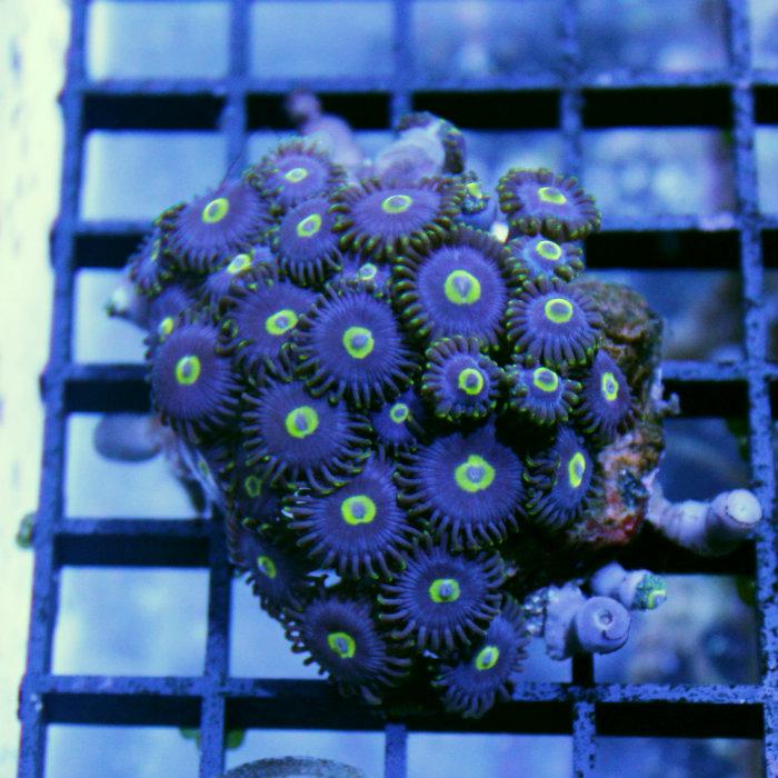 Blue Hornet Zoanthid Polyp Frag Zoanthus Sp.