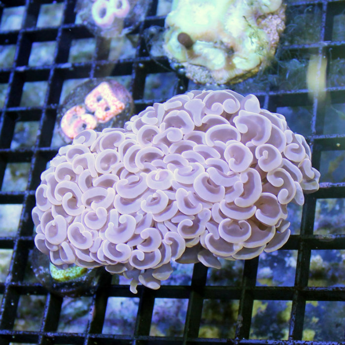 Peach Wall Hammer Coral Euphyllia Ancora
