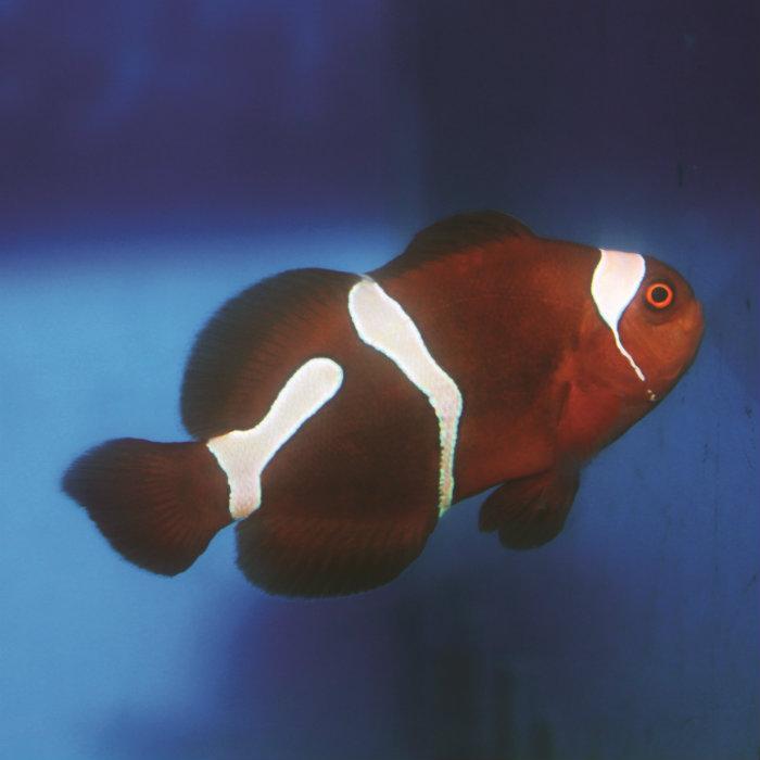 Goldflake Maroon Clownfish Premnas Biaculeatus Captive Bred