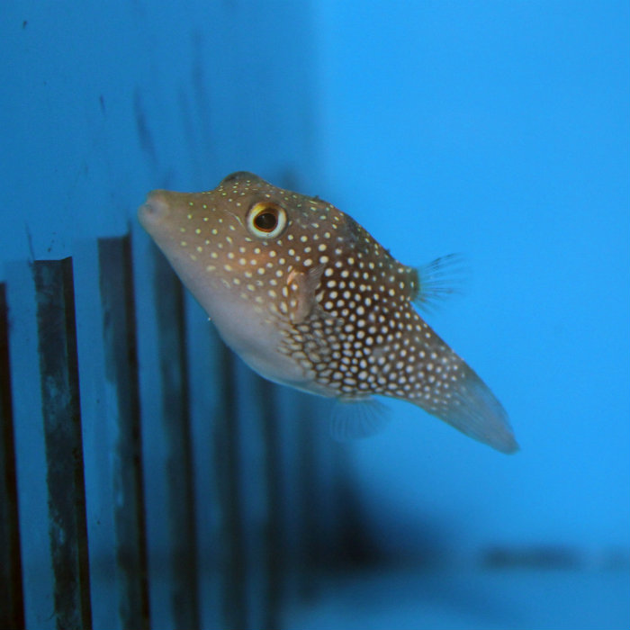 Eastern Pacific Spotted Toby Canthigaster Punctatissima