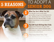 5 Reasons to Adopt a Senior Dog (infographic)