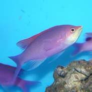Saltwater Fish For Sale For Marine Aquariums | thatpetplace com