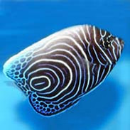 Saltwater Fish For Sale For Marine Aquariums | thatpetplace com