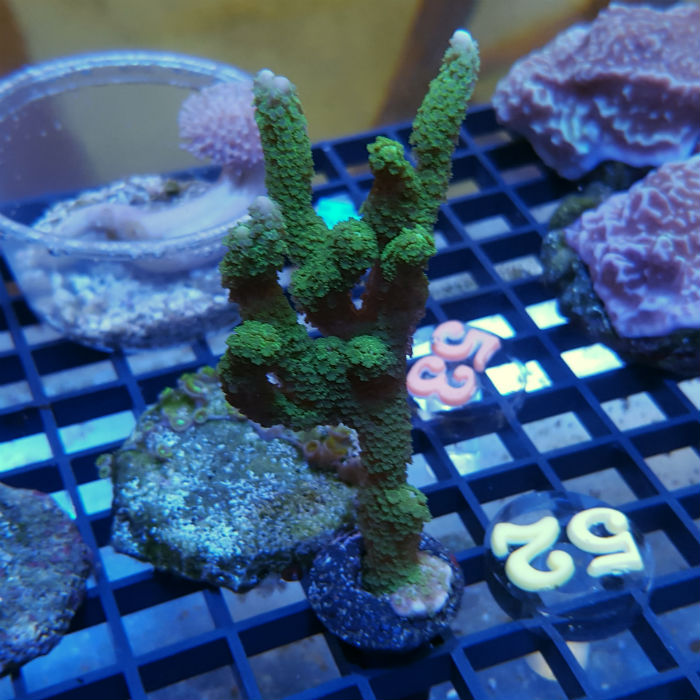 Dark Green Digitata Frag Montipora Digitata Ora