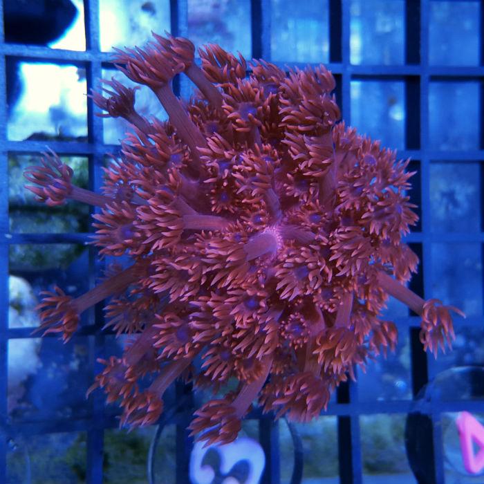 Red Goniopora Frag Goniopora Sp. Ora