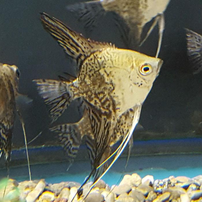 Leopard Angelfish Pterophyllum Scalare Small