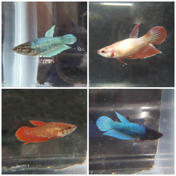 Veiltail betta betta splendens female for Female betta fish names
