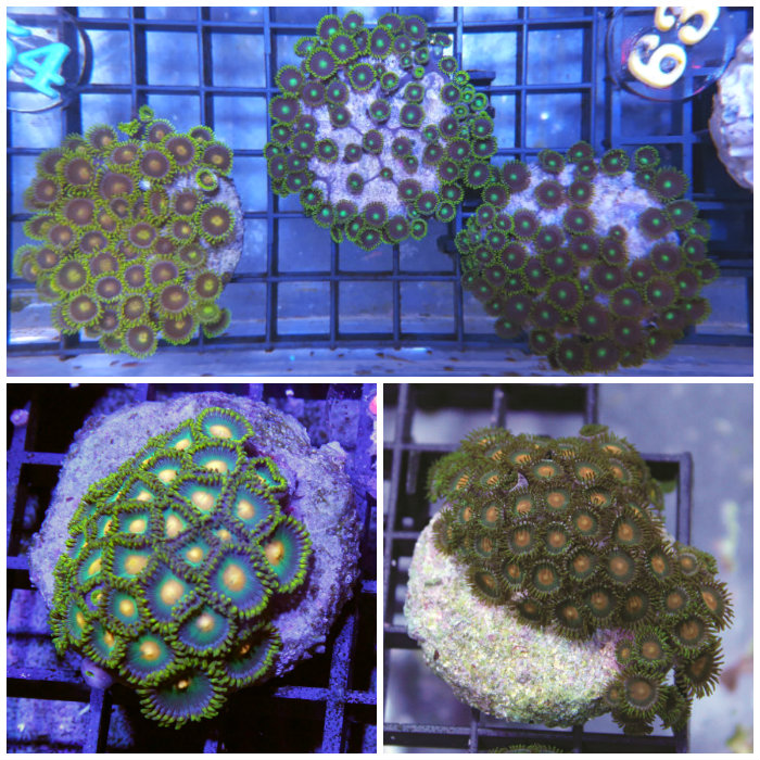 Mimf Zoanthid Polyp Frag Zoanthus Sp. Ora