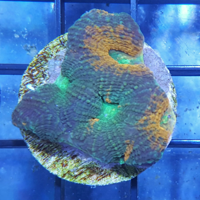 Ultra Orange Green Echinata Frag Acanthastrea Echinata