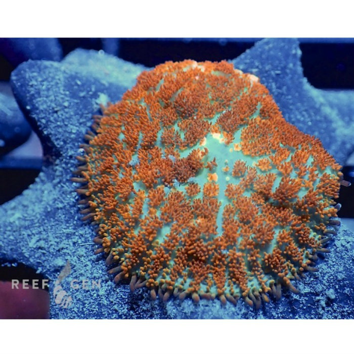 Inferno Mushroom Rhodactis Sp. Single Polyp Rg