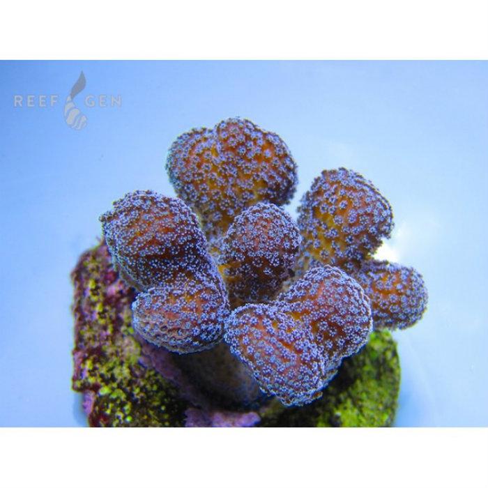 Blue Ocean Stylo Frag Stylophora Sp. Small Rg