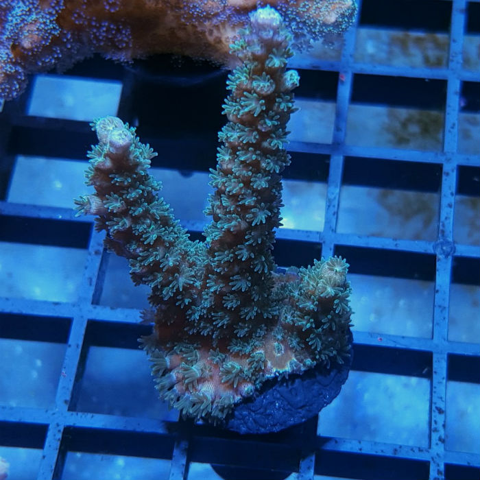 Blue Voodoo Acro Frag Acropora Sp. Ora