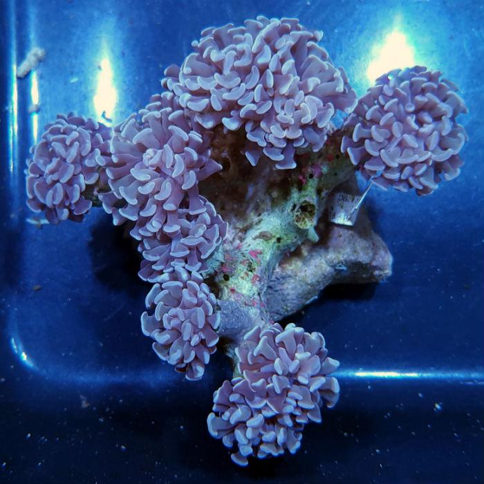 Pink Tipped Branching Hammer Coral Euphyllia Parancora