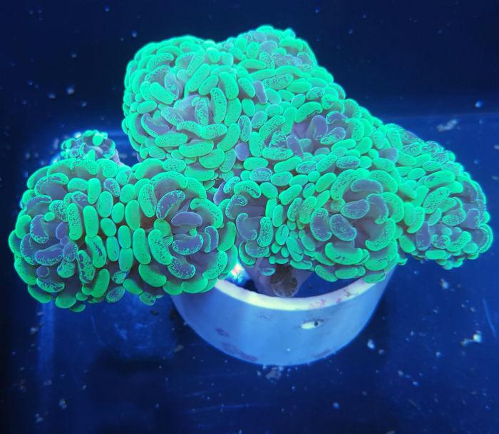 Marbled Branching Hammer Coral Euphyllia Parancora