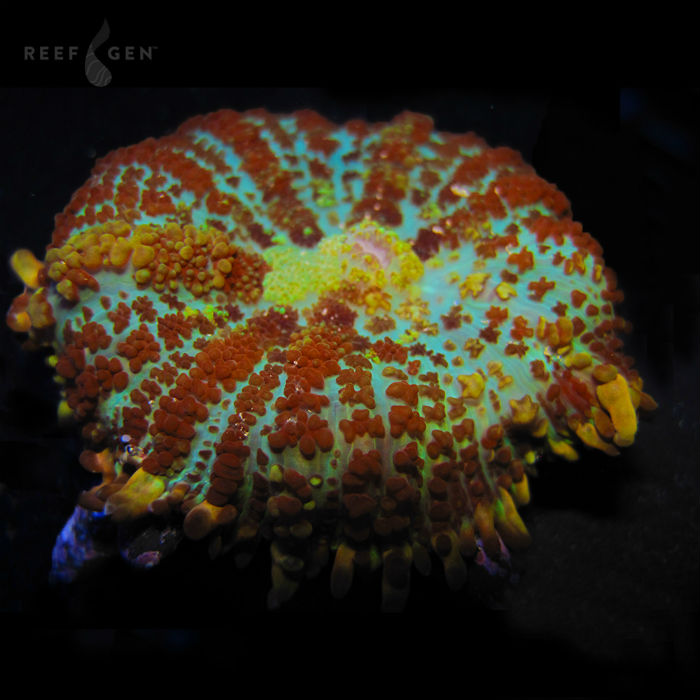Lucky Charms Mushroom Rhodactis Sp. Rg