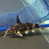 Jaguar Synodontis Catfish - Synodontis multipunctatus x ...