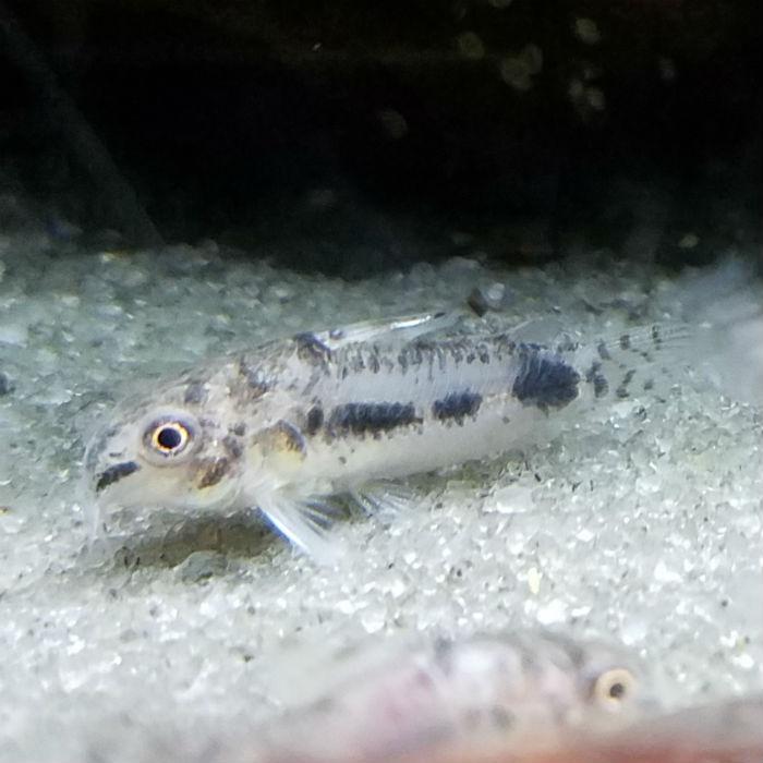 Venezuelan Pygmy Cory Corydoras Habrosus