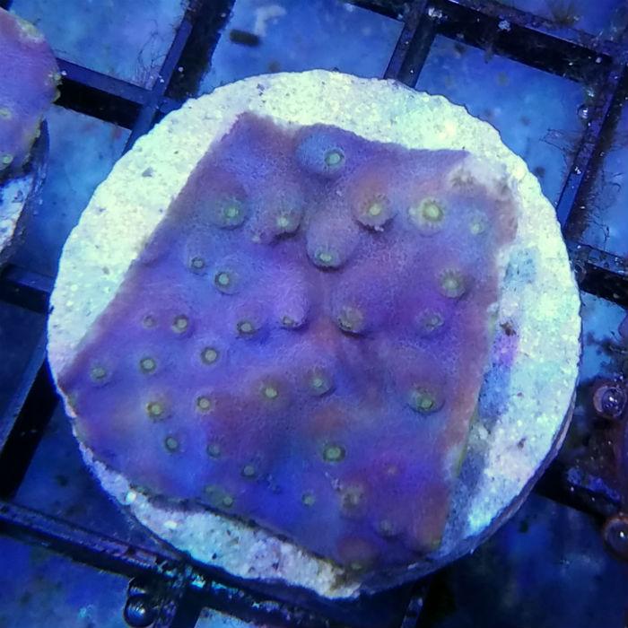 Yellow Polyped Purple Pagoda Frag Turbinaria Peltata Ea