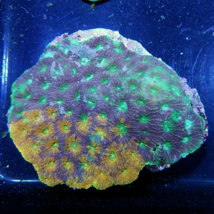 Orange And Green Echinata Acanthastrea Echinata Medium/large