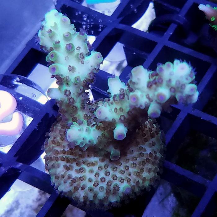 Lauras Purple Polyp Acro Frag Acropora Sp. Ora