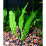 Java Fern Microsorum Pteropus Small