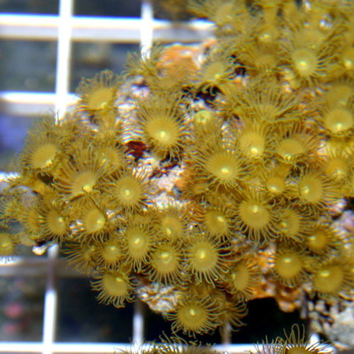 Golden Polyp Rock Parazoanthus Gracilis Small