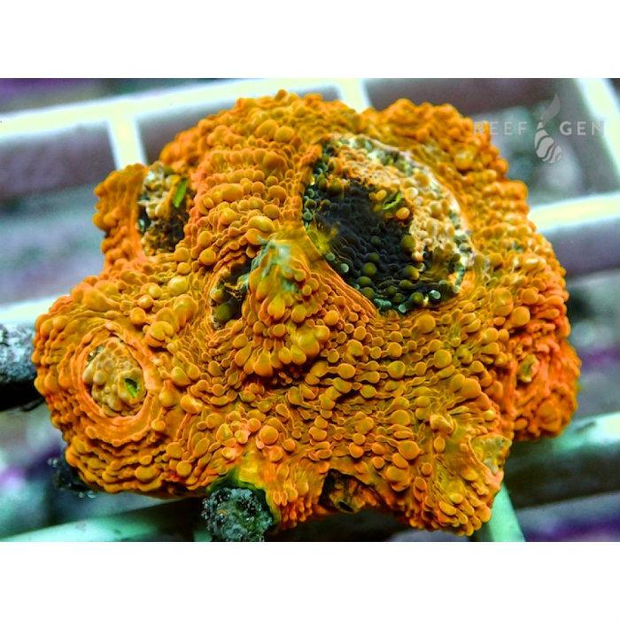 Orange Delight Acan Echinata Frag Acanthastrea Echinata Rg