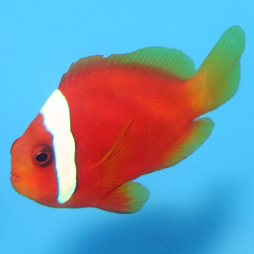 Tomato Clownfish Amphiprion Frenatus Small Captive Bred