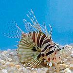 Dwarf Zebra Lionfish - Dendrochirus zebra - Medium