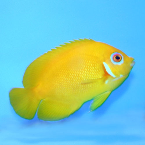 Lemonpeel Pygmy Angel Centropyge Flavissima Medium