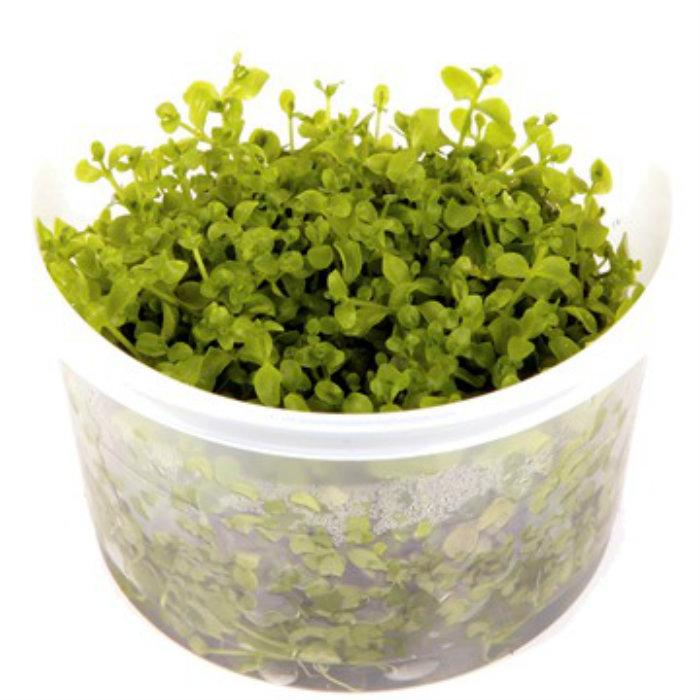 Micranthemum Monte Carlo 1 2 Grow