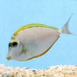Blonde Naso Tang Naso Elegans Small/medium
