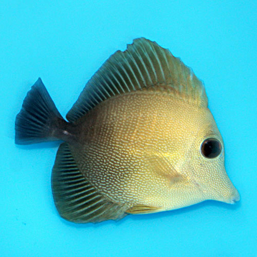 Scopas Tang Zebrasoma Scopas Medium