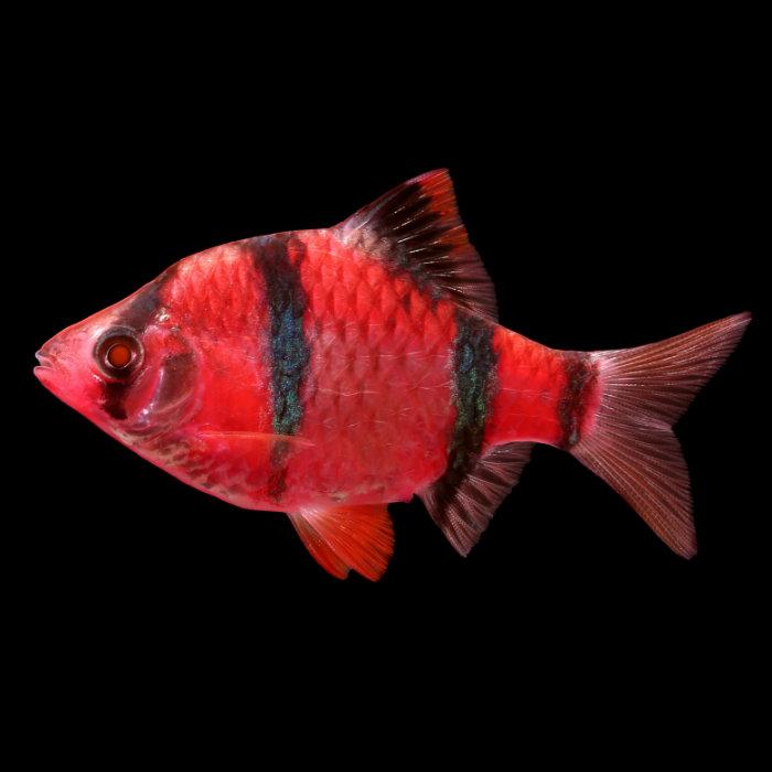 Starfire Red Glofish Barb Puntius Tetrazona