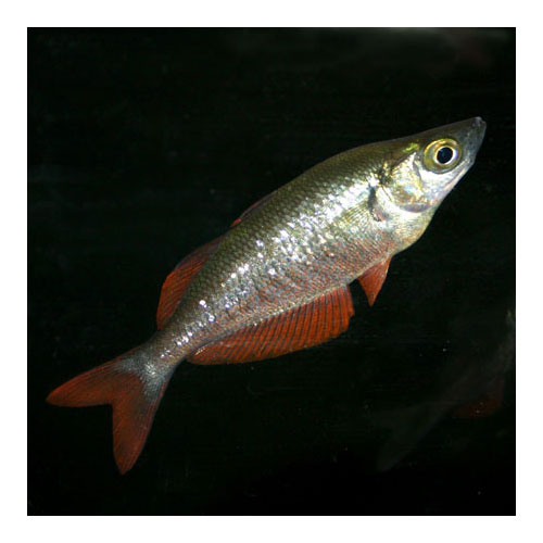 Red Rainbow Glossolepis Incisus Medium
