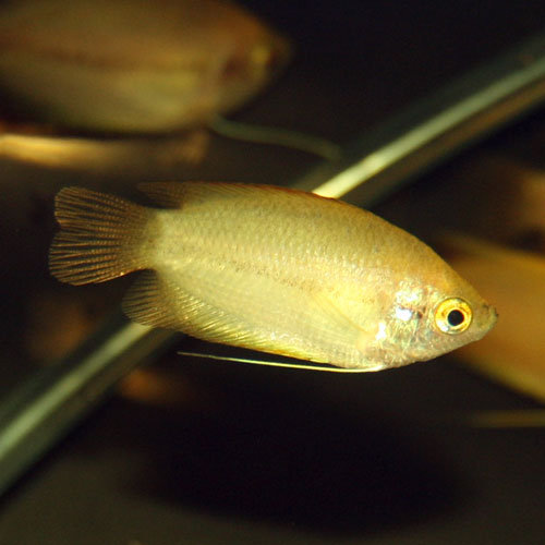 Honey Gourami Colisa Chuna