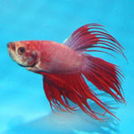 Crowntail Betta Betta Splendens Male