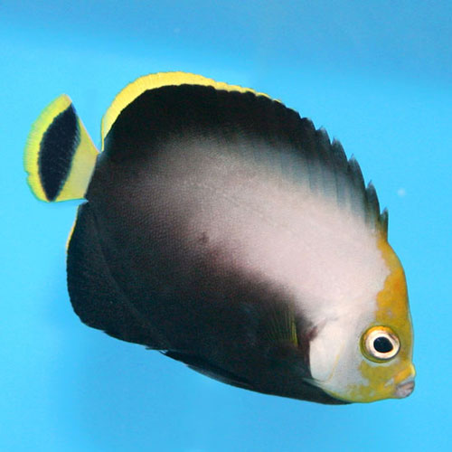 Black Velvet Angel Chaetodontoplus Melanosoma Md. Adult
