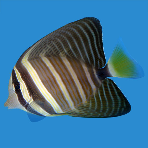 Sailfin Tang Zebrasoma Veliferum Medium