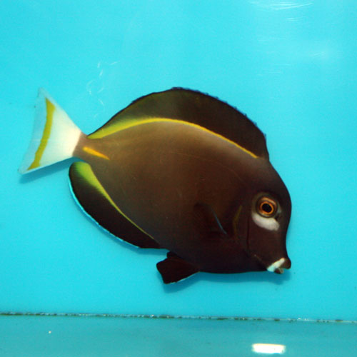 Powder Grey Tang Acanthurus Nigricans Medium
