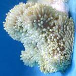 Sebae Anemone Heteractis Crispa Large