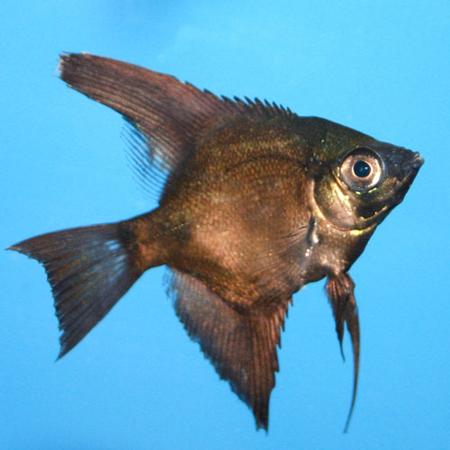 Black Angelfish Pterophyllum Scalare Small