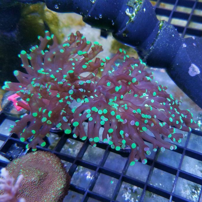 Green Tip Purple Frogspawn Frag Euphyllia Divisa Jf