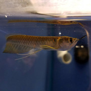 Freshwater Fish Aquarium Fish For Sale Online Thatpetplacecom