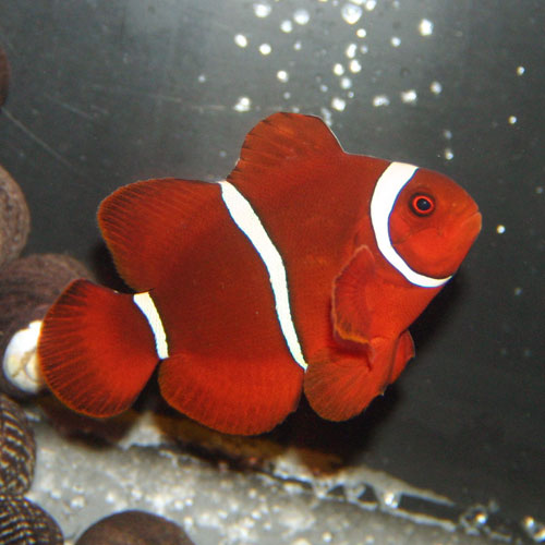 Maroon Clownfish Premnas Biaculeatus Medium/large