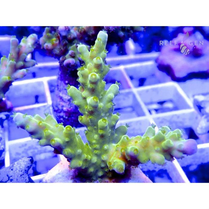 Legacy Green Titan Acro Frag Acropora Sp. Rg