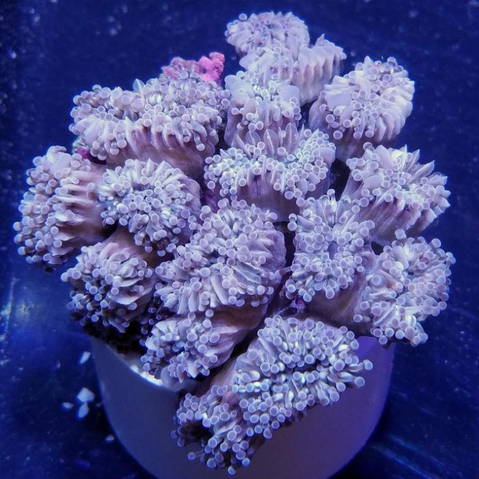 Grape Cristata Torch Coral Euphyllia Cristata Medium