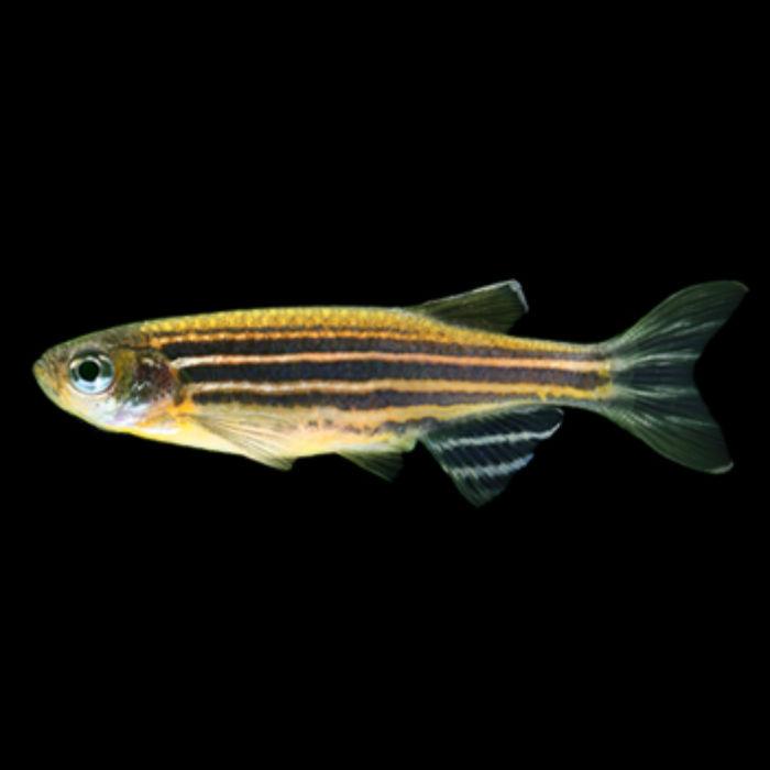 Sunburst Orange Striped Glofish Danio Rerio
